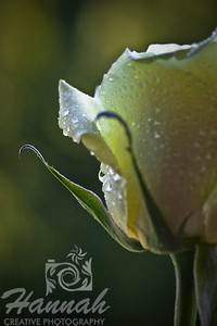 Single Light Yellow Rose Side Bottom View   © Copyright Hannah Pastrana Prieto