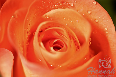 Single Pink Rose with Water Droplets Top View  © Copyright Hannah Pastrana Prieto