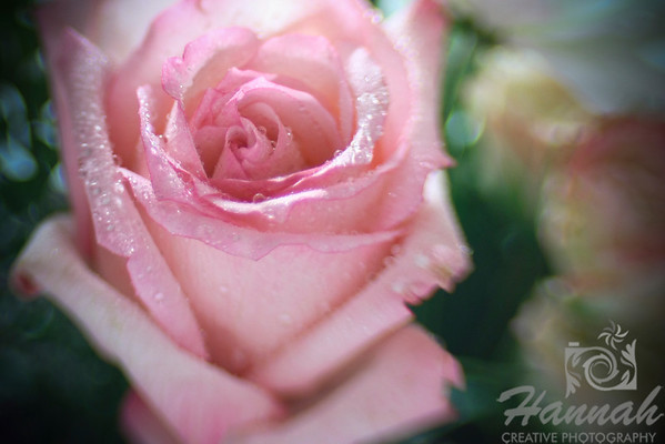 A Lensbaby shot of a Pink Rose with water droplets  © Copyright Hannah Pastrana Prieto