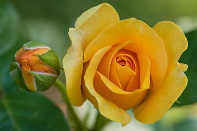 Rosebud & Yellow Rose