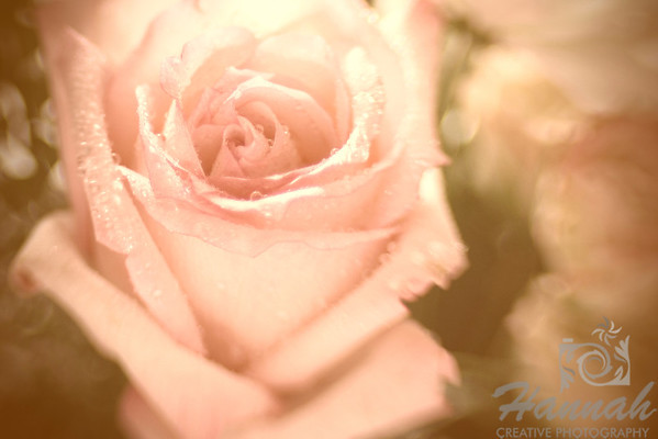 A Lensbaby shot of a Peach Rose with water droplets  © Copyright Hannah Pastrana Prieto