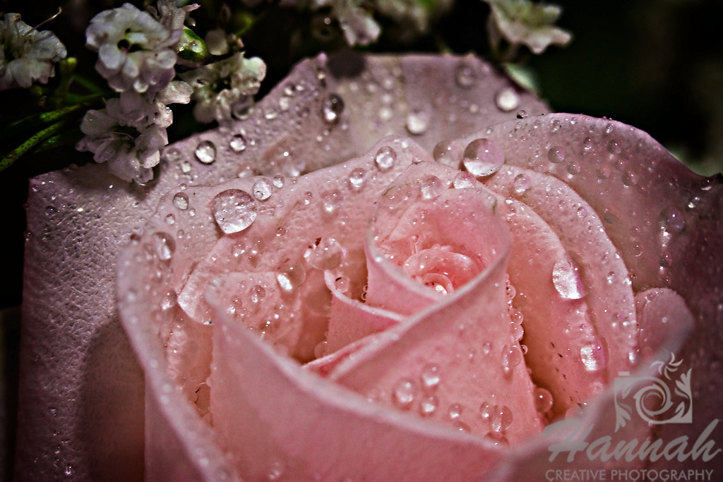 Close-up of a Single Pink Rose with Black Background for Fine Arts   © Copyright Hannah Pastrana Prieto