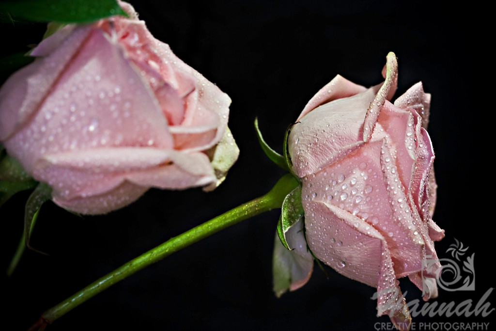 Close-up of Two Pink Roses with Black Background for Fine Arts   © Copyright Hannah Pastrana Prieto