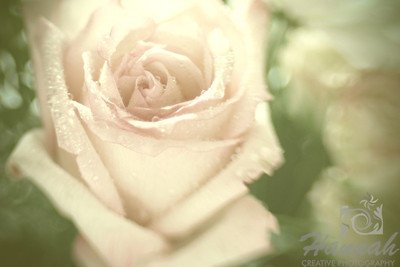 A Lensbaby shot of a Light Pink Rose with water droplets  © Copyright Hannah Pastrana Prieto