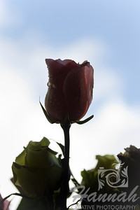 Single Silhouetted Pink Rose with Sky Background   © Copyright Hannah Pastrana Prieto