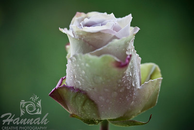Single Pink Lavender Rose with Magenta Streaks   © Copyright Hannah Pastrana Prieto