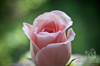 Single Pink Rose   © Copyright Hannah Pastrana Prieto