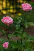 Perfect Pink Rose Bush