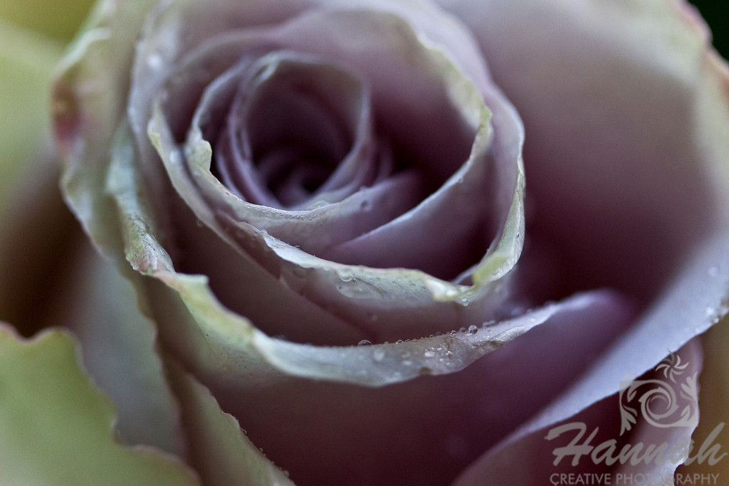 Single Pink Lavender Rose with Magenta Streaks Top View   © Copyright Hannah Pastrana Prieto