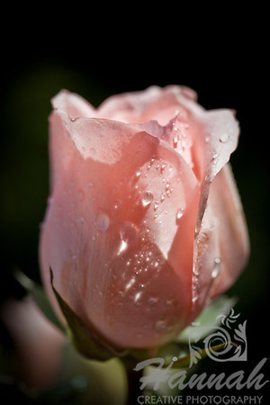 Single Pink Rose with Black Background Macro Shot for Fine Arts   © Copyright Hannah Pastrana Prieto