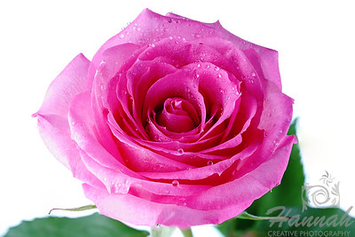 Close-up of a Pink Rose