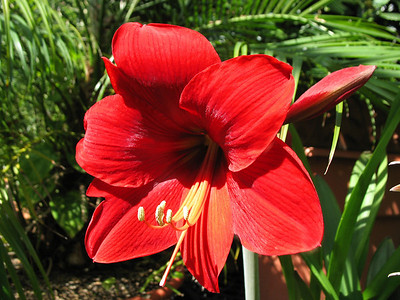 Signs of Spring (Amaryllis)