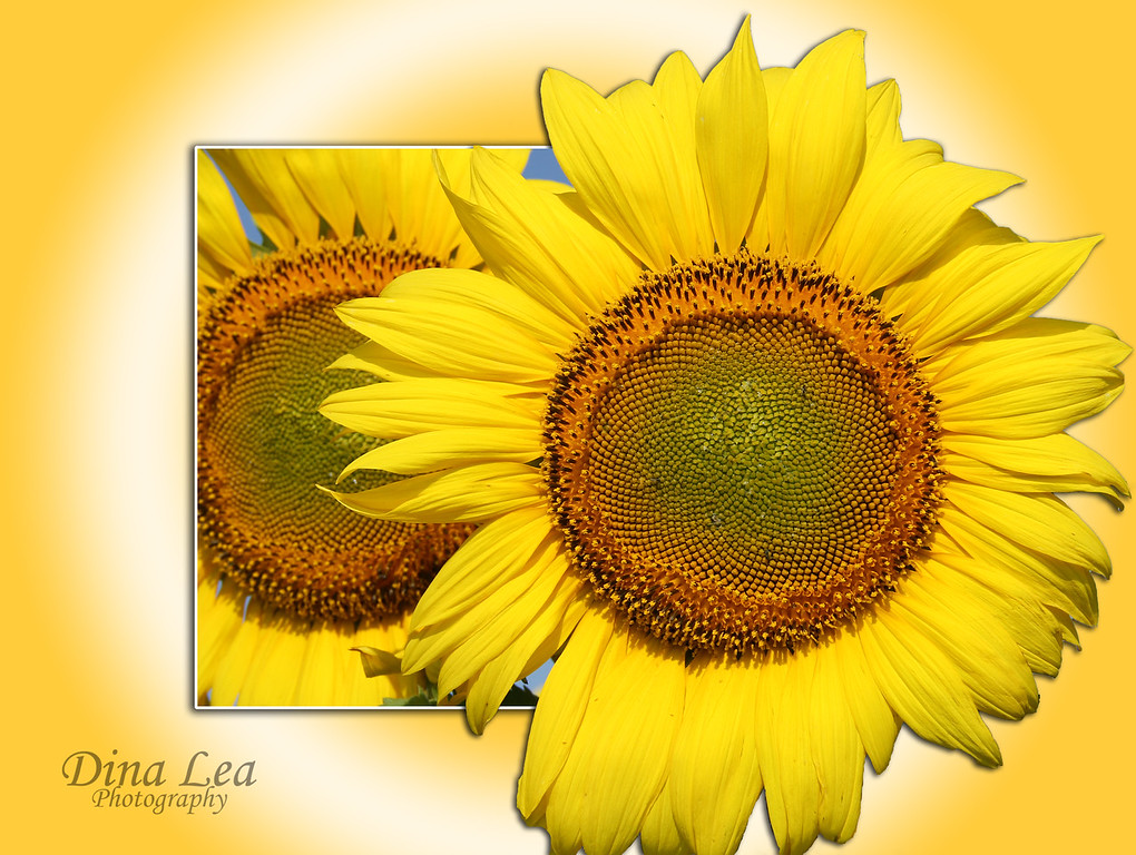 "Sunflower ""Out Of The Box"""
