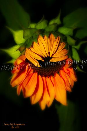 Sunflowers - Helianthus