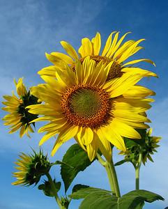 Sunflowers (14)