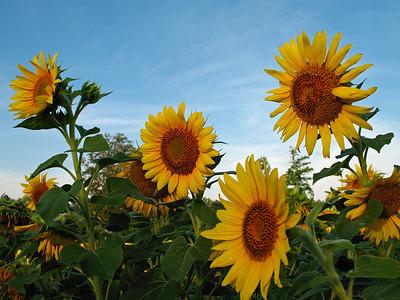 Sunflowers (4)