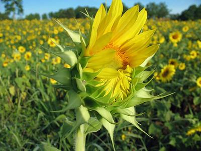 Sunflowers (12)