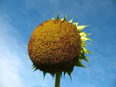 Sunflowers (16)