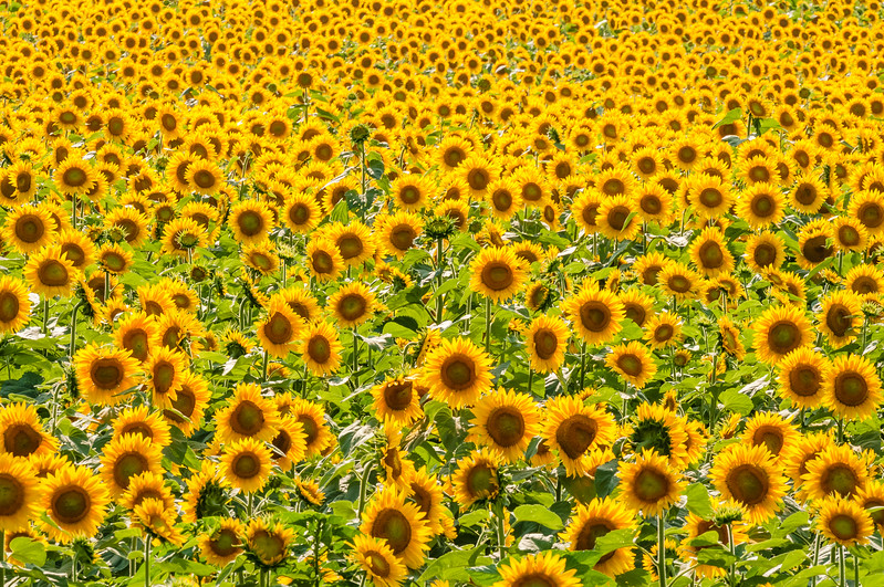 Lots of Sunflowers