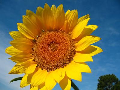 Sunflowers (17)