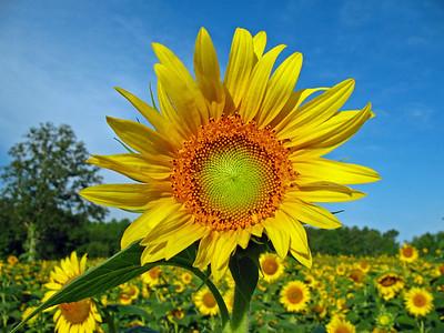 Sunflowers (15)