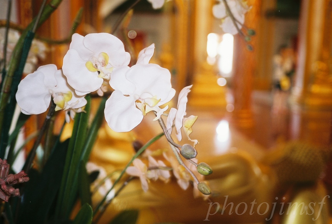 james98-R4-009-3 phuket temple orchid wm