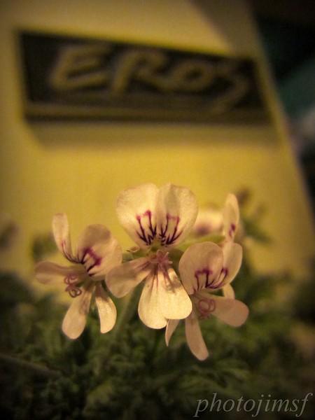 7-20-12 Pan Dulce 261 eros flowers adj wm.jpg
