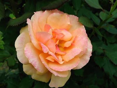 Tim's Roses (10)
