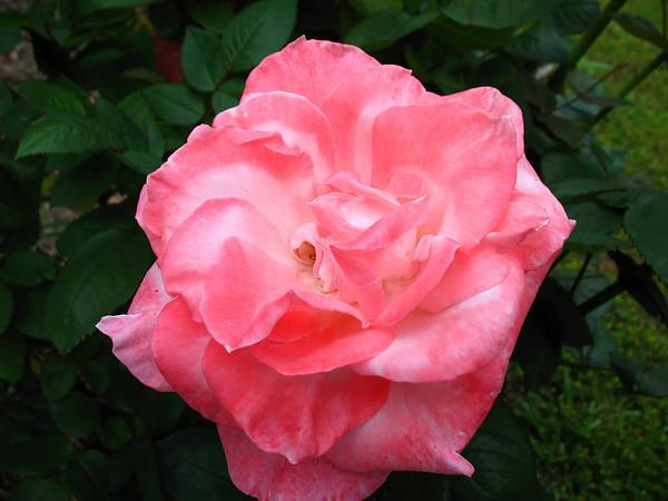 Tim's Roses (15)