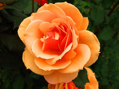 Tim's Roses (5)