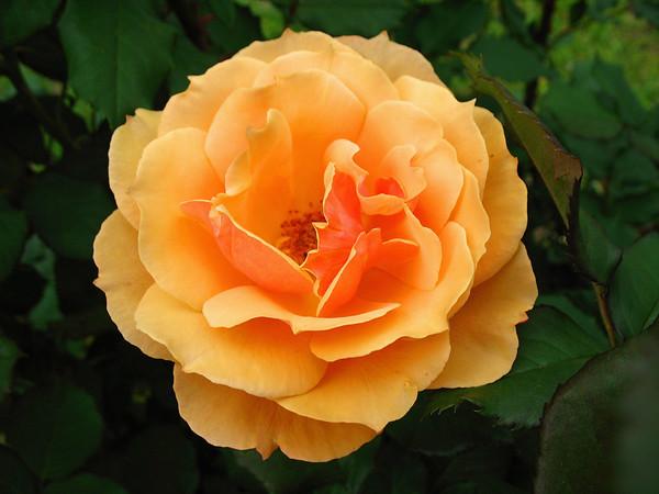 Tim's Roses (14)