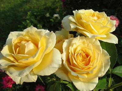 Tim's Roses (4)