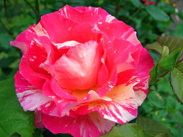Tim's Roses (8)