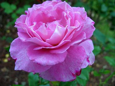 Tim's Roses (3)