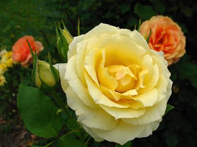 Tim's Roses (18)