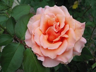 Tim's Roses (2)
