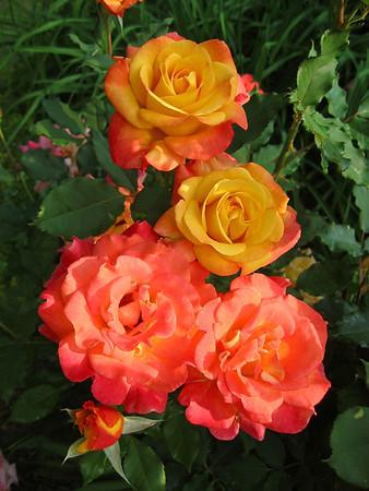 Tim's Roses (13)