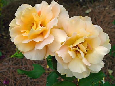 Tim's Roses (16)