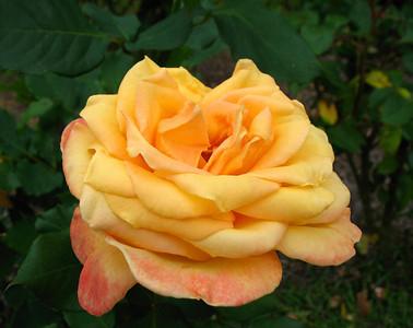 Tim's Roses (6)