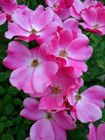 Tim's Roses (7)