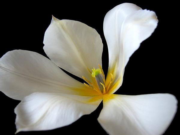 White Tulip 3