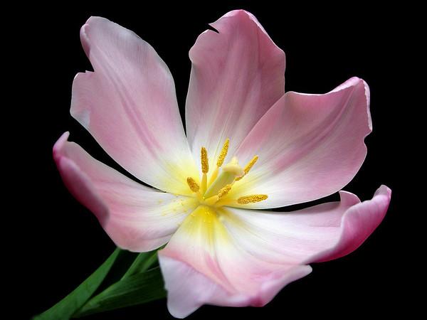 Pink Tulip 16