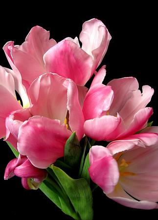Pink Tulip 5