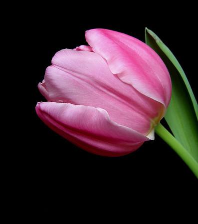 Pink Tulip 19