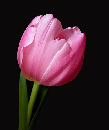 Pink Tulip 18