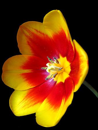 Orange Tulip 9