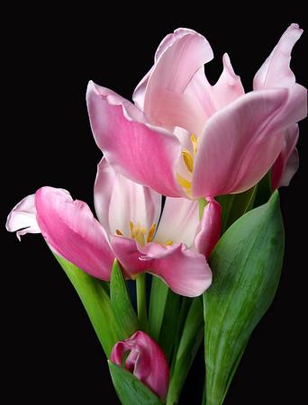 Pink Tulip 4