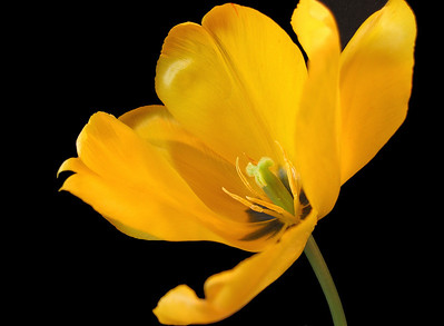 Yellow Tulip 5