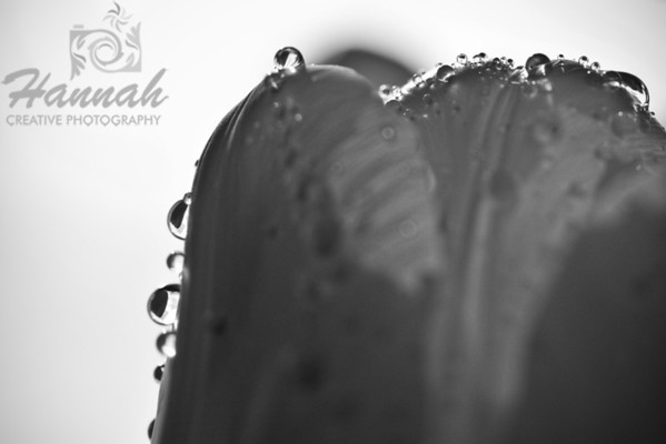 Tulip with water droplets in monochrome  © Copyright Hannah Pastrana Prieto
