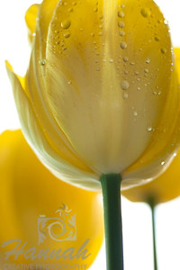 Yellow tulip bottom low-angle view  © Copyright Hannah Pastrana Prieto
